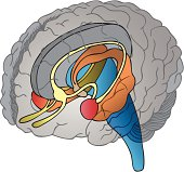 This is an illustration of the brain with the Limbic System drawn separately within the brain. The colors help to show the different parts of the Limbic System inside the brain.  This will be useful as clip-art and for instructional materials.