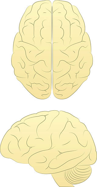 Brain Line Art Vector of Brain form two angles biofeedback stock illustrations