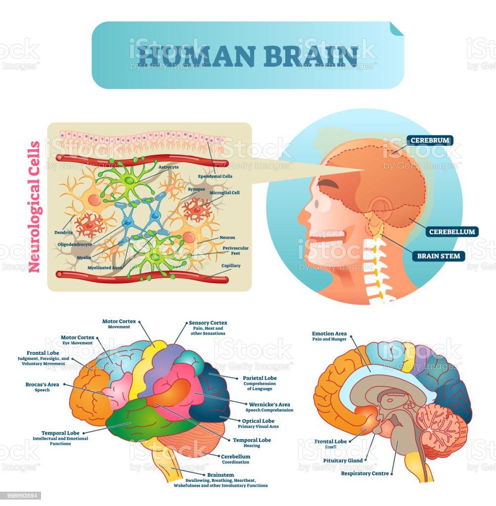 Ilustración de Ilustración De Vector De Cerebro Esquema Educativo ...