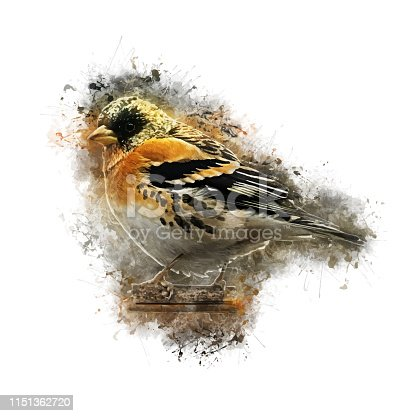 A digital painting of a brambling, created from a photograph. Vector comes with transparent backing.
