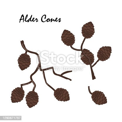 istock A branch of alder with cones isolated on white background. Vector illustration. Branch of Alnus glutinosa, the common alder 1290671757