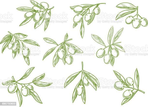 Branch of fesh olives vector sketch icons set vector id690750600?b=1&k=6&m=690750600&s=612x612&h=yotiaywuikwafeqbamlve4fk4nbzbk6yekw3xsuhubw=