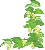 Branch of hops on white background