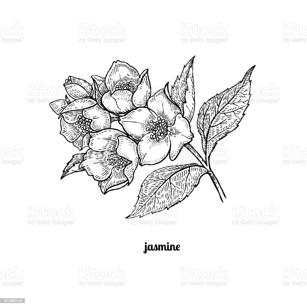 Branch Of Jasmine Flowers Stock Vector Art More Images Of