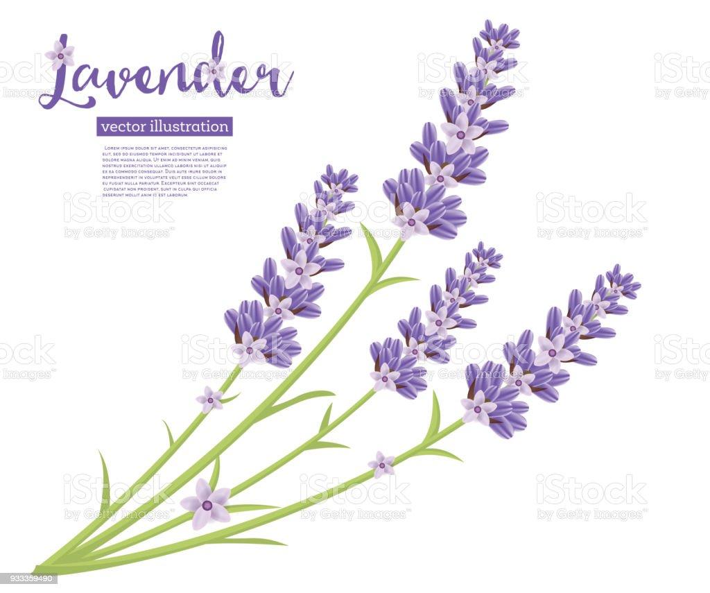 Zweig Der Lavendel Blumen Isolated On White Stock Vektor Art und ...
