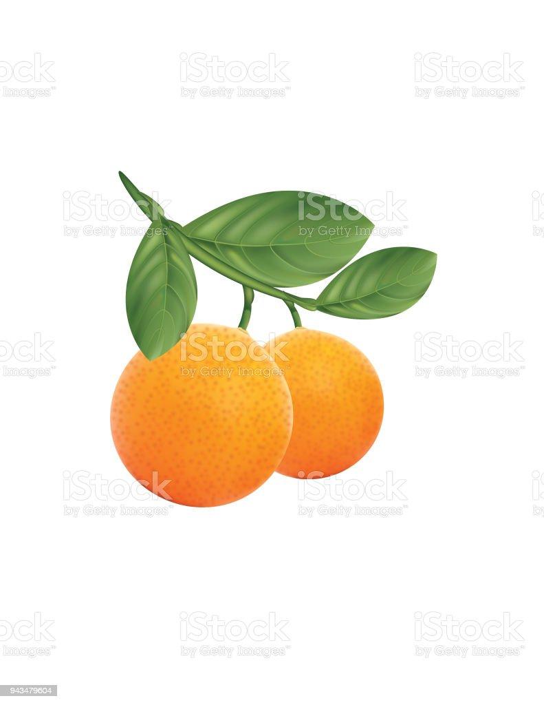 Branch of Oranges vector art illustration