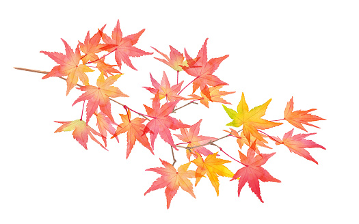 A branch of red autumn leaves. Watercolor illustration trace vector