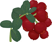 Branch of red lingonberry with green leaves