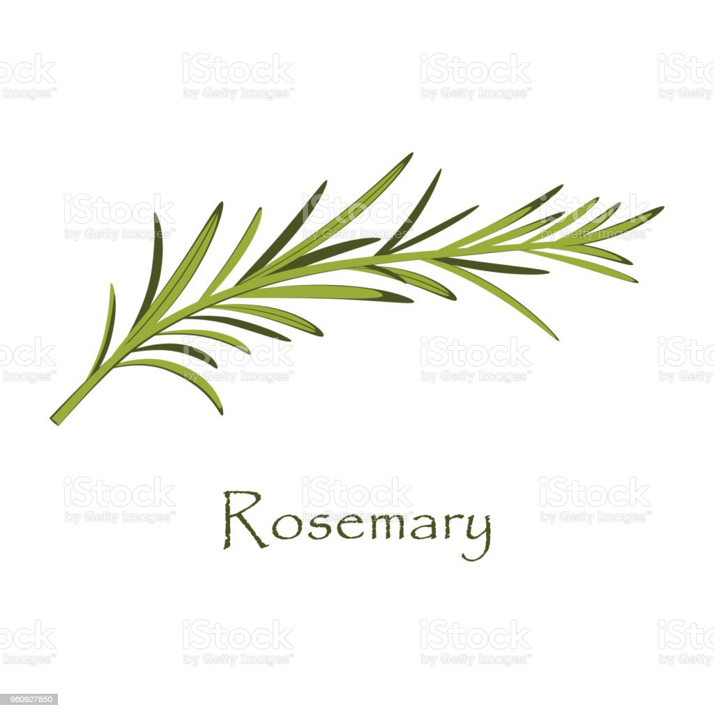 Branch Of Rosemary On White Stock Illustration - Download Image Now