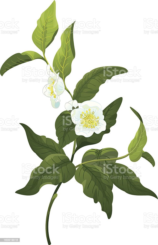 Branch of tea royalty-free branch of tea stock vector art & more images of botany