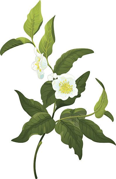 illustrazioni stock, clip art, cartoni animati e icone di tendenza di ramo di tè - camellia sinensis