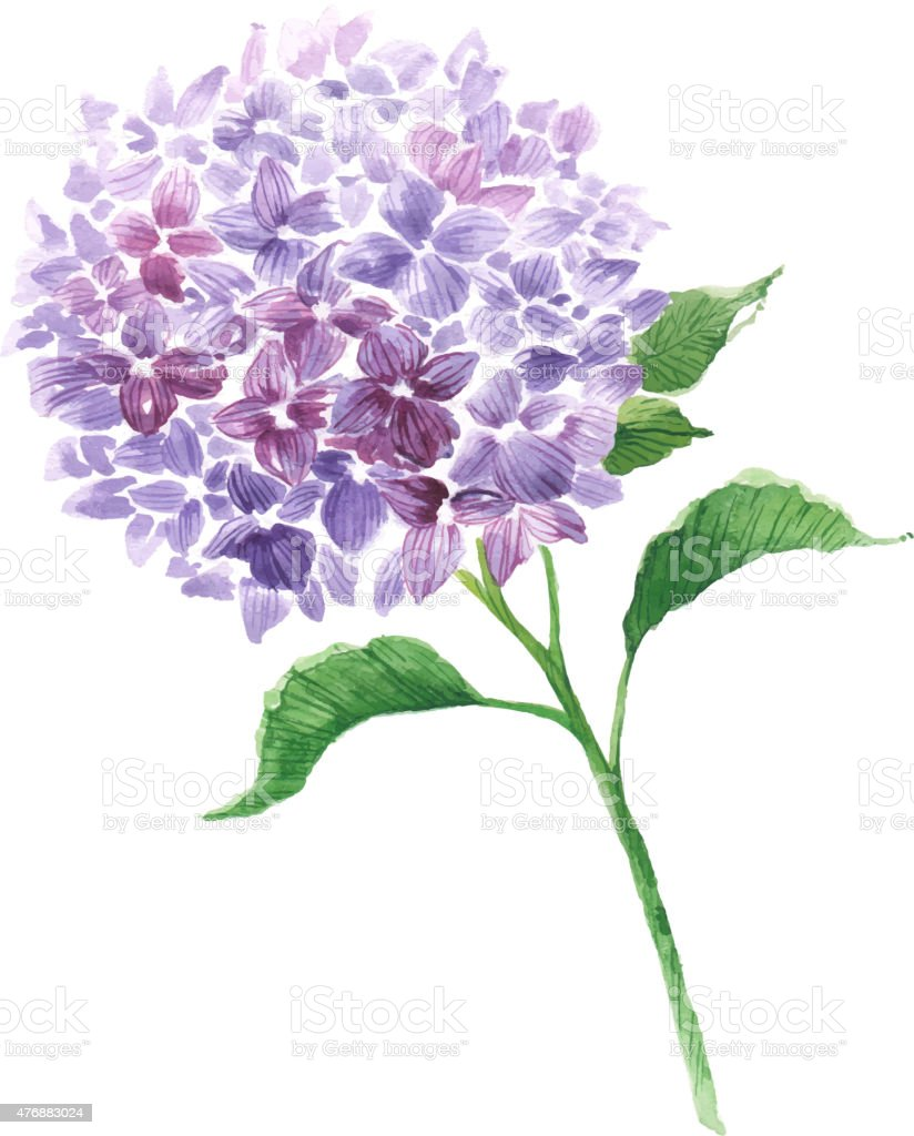 Branch of violet hydrangea vector art illustration