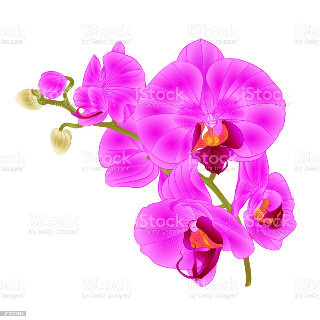 Branch orchids purple flowers tropical plant phalaenopsis on a white branch orchids purple flowers tropical plant phalaenopsis on a white background vintage vector botanical illustration for mightylinksfo