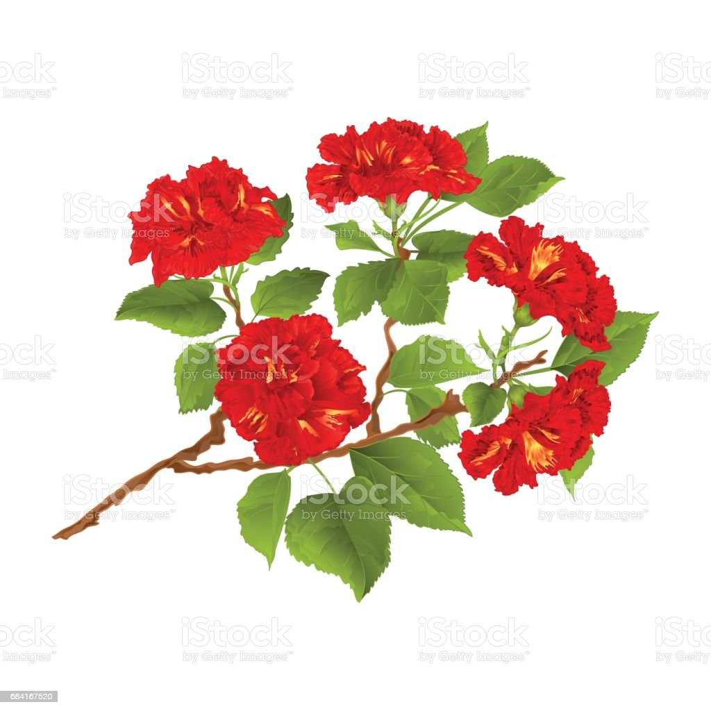 Branch red hibiscus tropical flowers  on a white background vintage hand draw vector royalty-free branch red hibiscus tropical flowers on a white background vintage hand draw vector stock vector art & more images of beauty