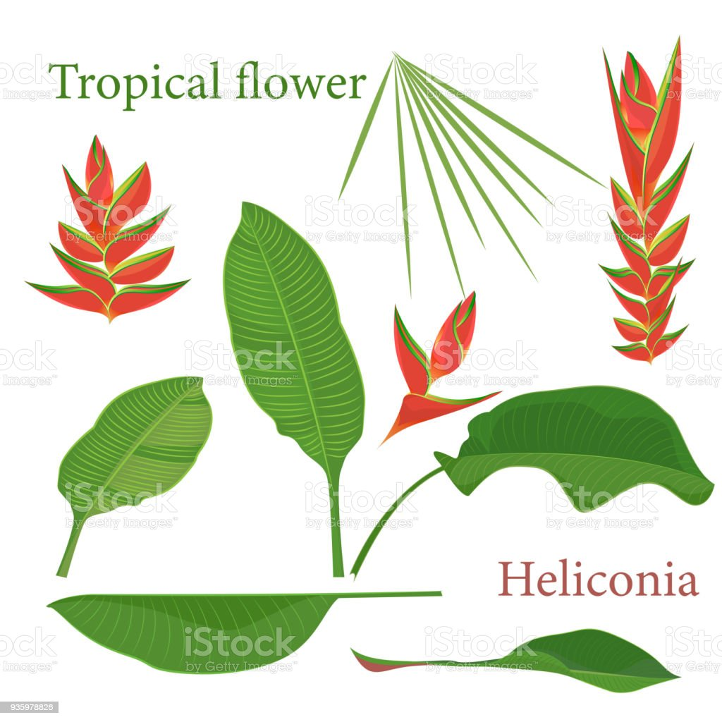 Branch Tropical Heliconia Flower Leaves Watercolor Realistic Drawing ...