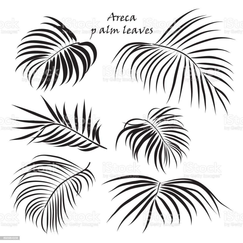 Branch tropical palm areca leaves. in black colors, isolated on white background. vector art illustration
