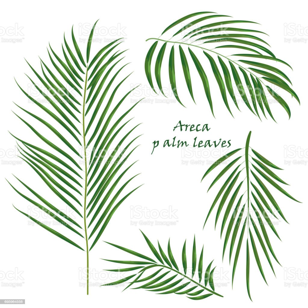 Branch tropical palm areca leaves. realistic drawing in flat color style. isolated on white background. vector art illustration