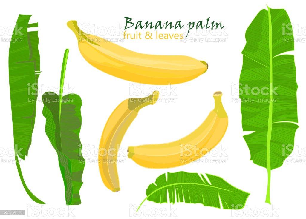 Ilustración de Rama Hojas De Plátano De Palmeras Tropicales Y Frutas ...
