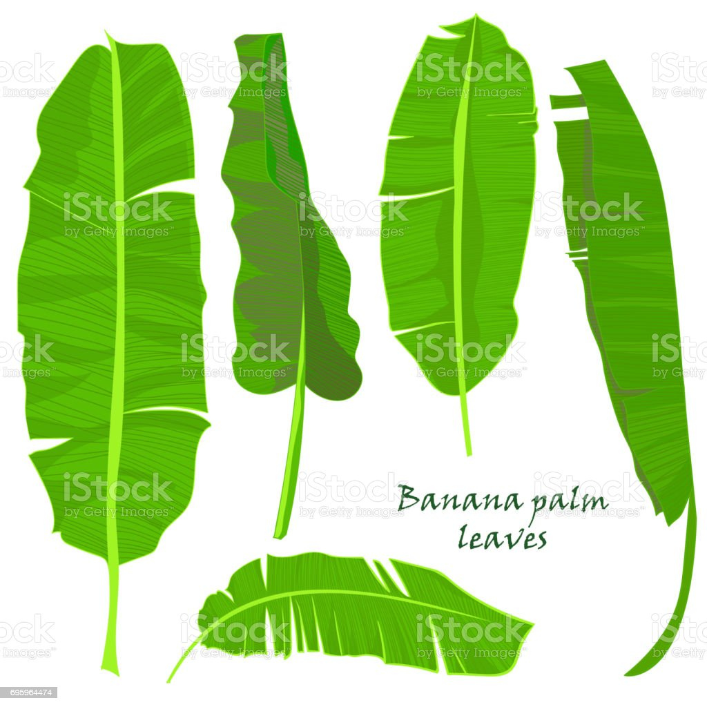Branch tropical palm banana leaves. realistic drawing in flat color style. isolated on white background. vector art illustration