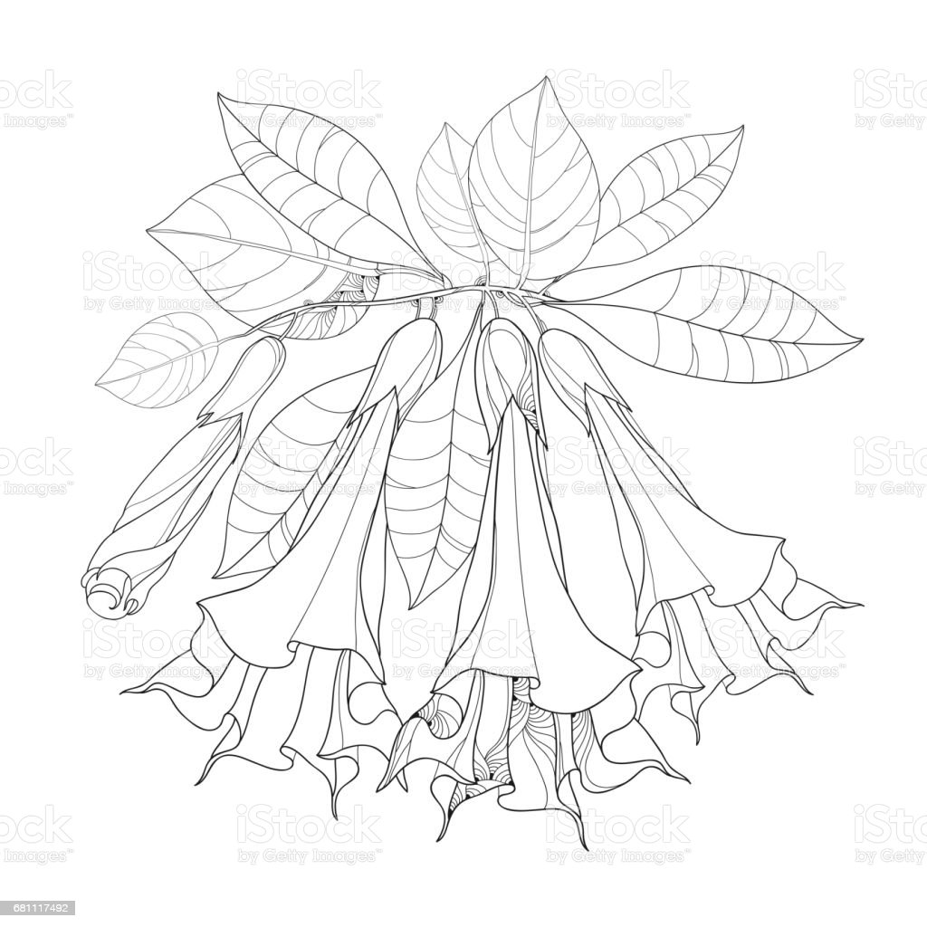 Free Line Art Converter : Branch with brugmansia or angels trumpets outline flower