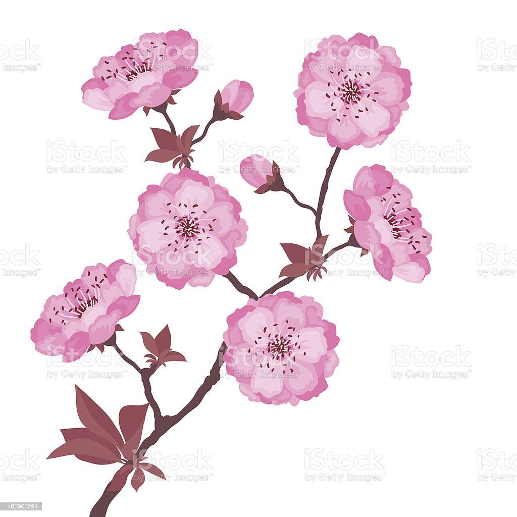 Branche De Cerisier En Fleurs Sur Fond Blanc Cliparts Vectoriels