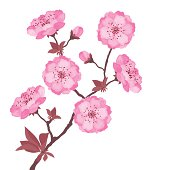 Branch with cherry flowers on white background.