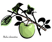 Vintage print style botanic illustration. Green and black with title at Latin. Vector sketch.