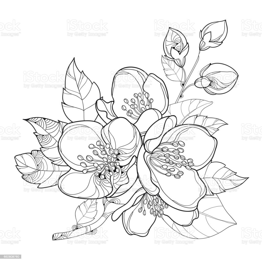 Line Drawing Jasmine Flower : Branch with jasmine flowers bud and leaves isolated on