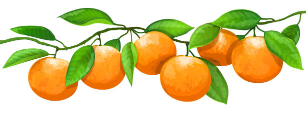 Bекторная иллюстрация Branch with oranges fruits isolated on white background. Vector illustration