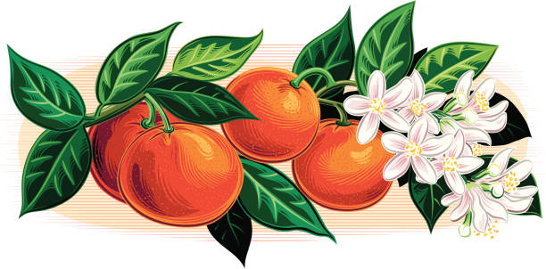 branch with oranges vector art illustration