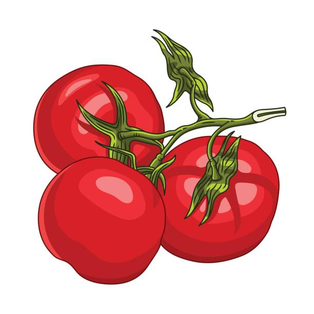 Branch with three ripe tomatoes Branch with three ripe tomatoes. Vector illustration, isolated on white. tomato sauce stock illustrations