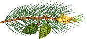 Branche of pine with green needles, yellow male cones and young green cones on white background