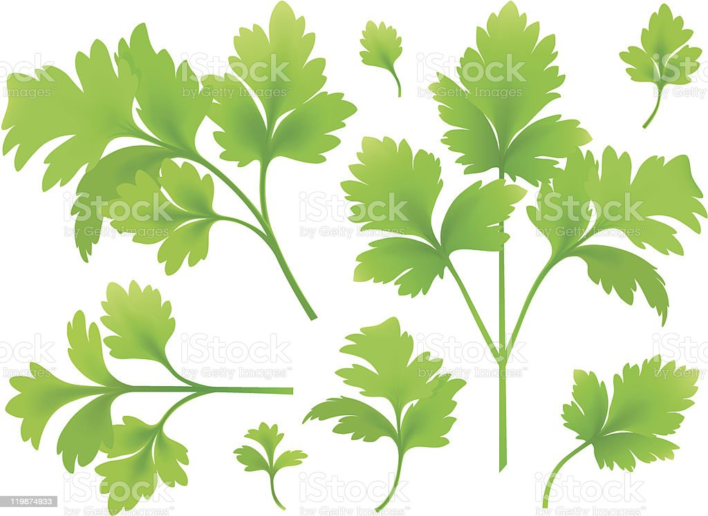 Branches and leaves of parsley vector art illustration