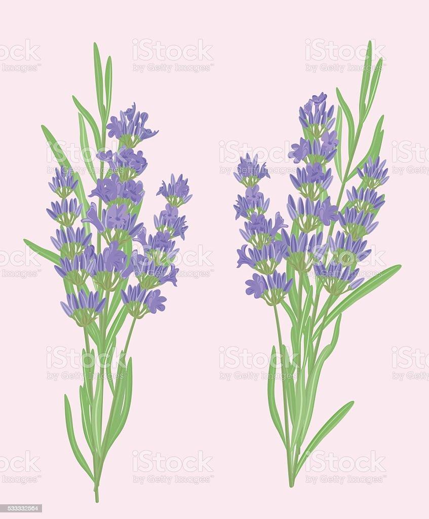 Branches of lavender. vector art illustration