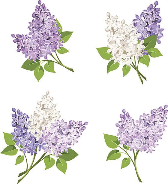 Branches of lilac flowers. Vector illustration. – Vektorgrafik