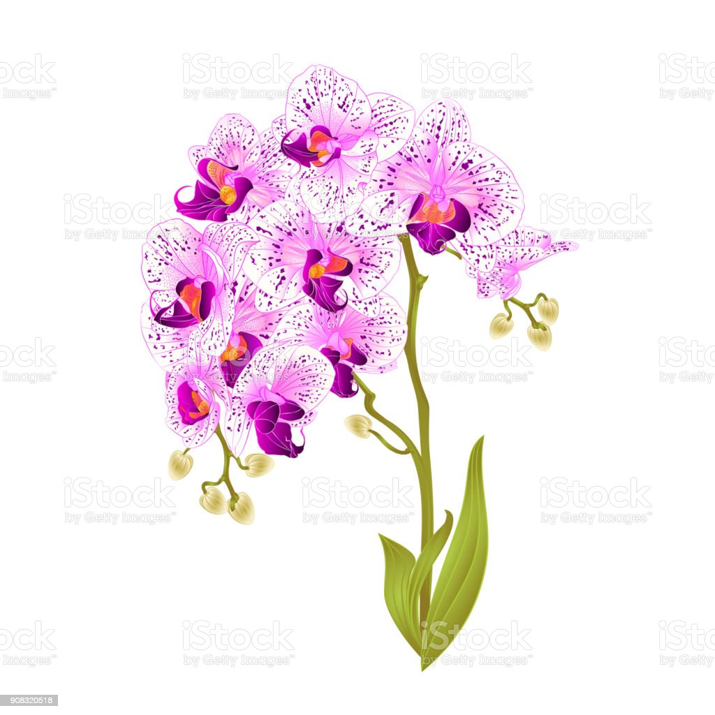 Royalty Free Silhouette Of The Purple Spotted Orchid Clip Art Rh Istockphoto Com Rustic Vintage Floral