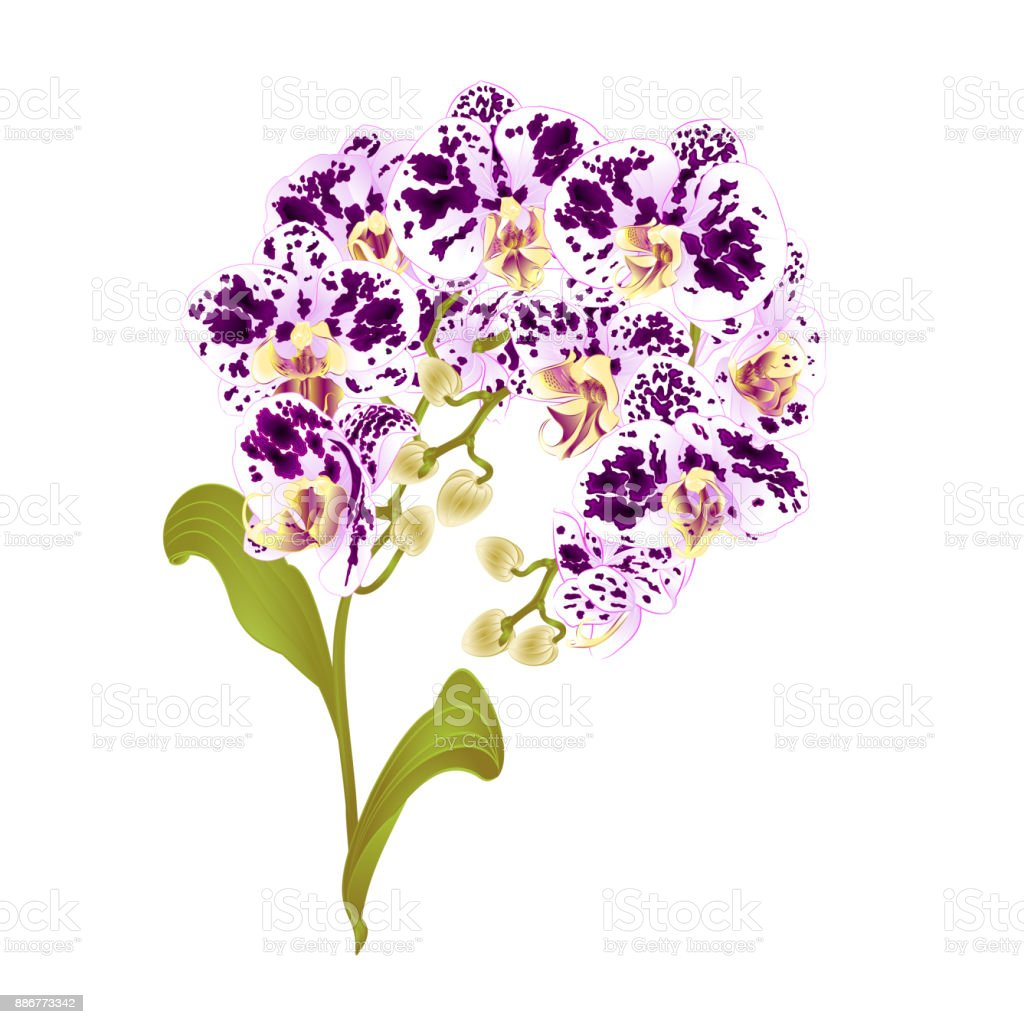 Branches orchid phalaenopsis spotted purple and white flowers branches orchid phalaenopsis spotted purple and white flowers tropical plants green stem and buds and leaves mightylinksfo
