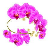 Branches orchids purple flowers tropical plant phalaenopsis on a branches orchids purple flowers tropical plant phalaenopsis on a white background set two vintage vector botanical mightylinksfo
