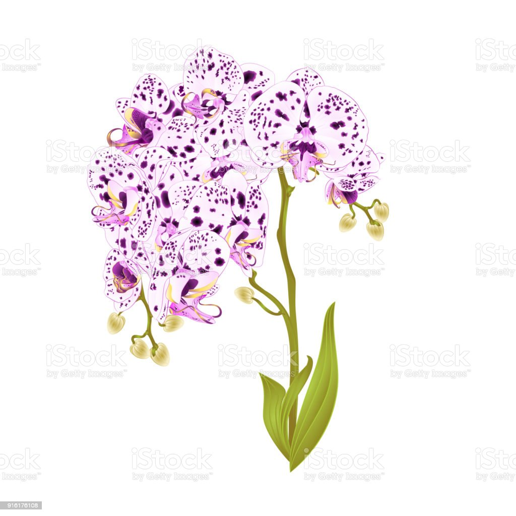 Branches orchids spotted flowers tropical plant phalaenopsis on a branches orchids spotted flowers tropical plant phalaenopsis on a white background set first vintage vector botanical mightylinksfo