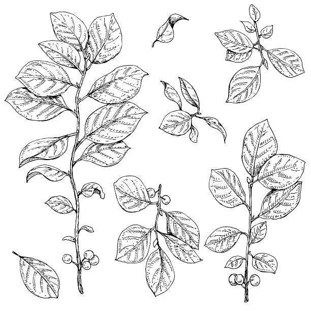 Branches with leaves  and berries set Hand drawn buckthorn branches with leaves and berries.  Vector sketch of plants. honeysuckle stock illustrations