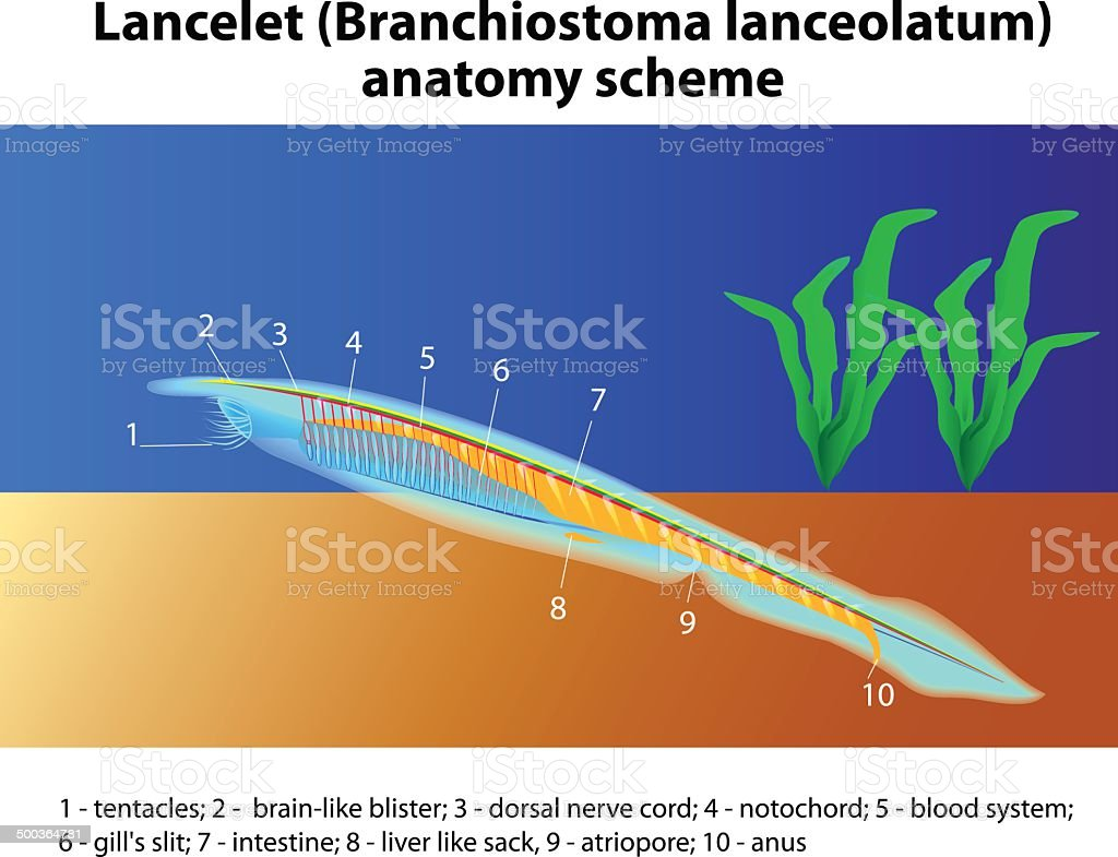 Branchiostoma lanceolatum anatomy scheme vector art illustration