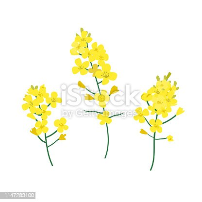 Flowering stalk of yellow rape flowers. Brassica napus, rapeseed, colza, oil seed, canola vector illustration. The concept of rapeseed oil or honey. Flat vector illustration isolated on white background