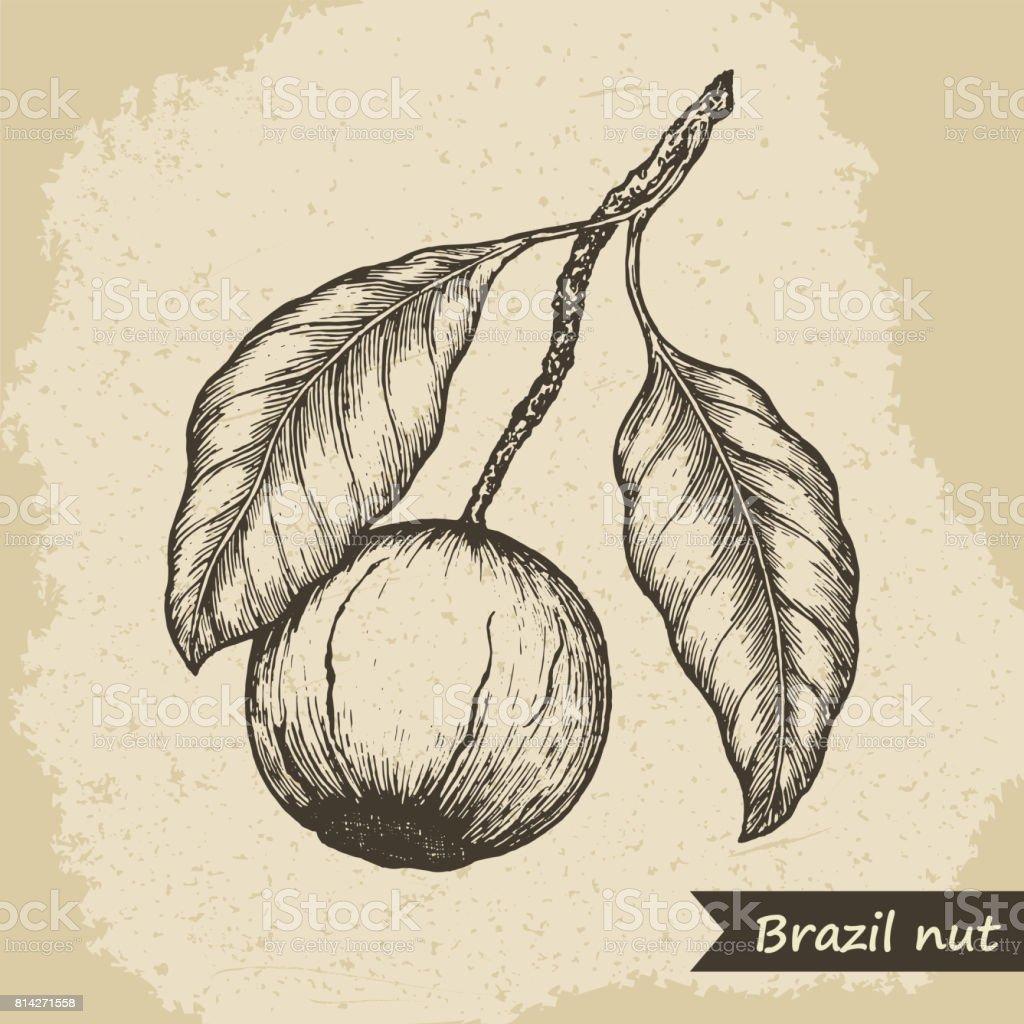 Brazil nut fruit, vintage engraved vector illustration. vector art illustration