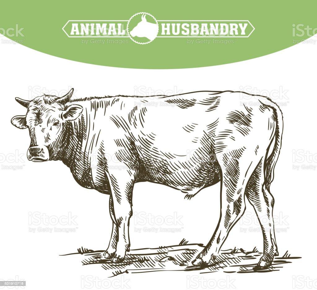 breeding cow. animal husbandry. livestock vector art illustration