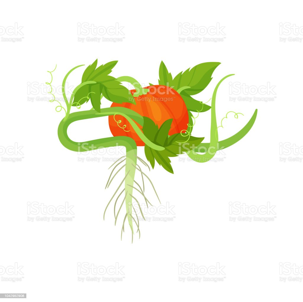 Bright orange pumpkin with green leaves and roots. Organic and healthy food. Cultivated plant. Flat vector element for packing of seeds vector art illustration