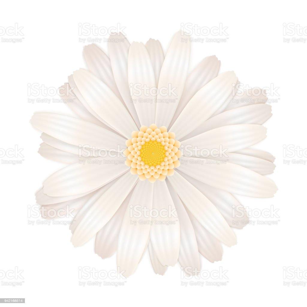 Bright White Gerbera Flower Isolated On White Stock Vector Art