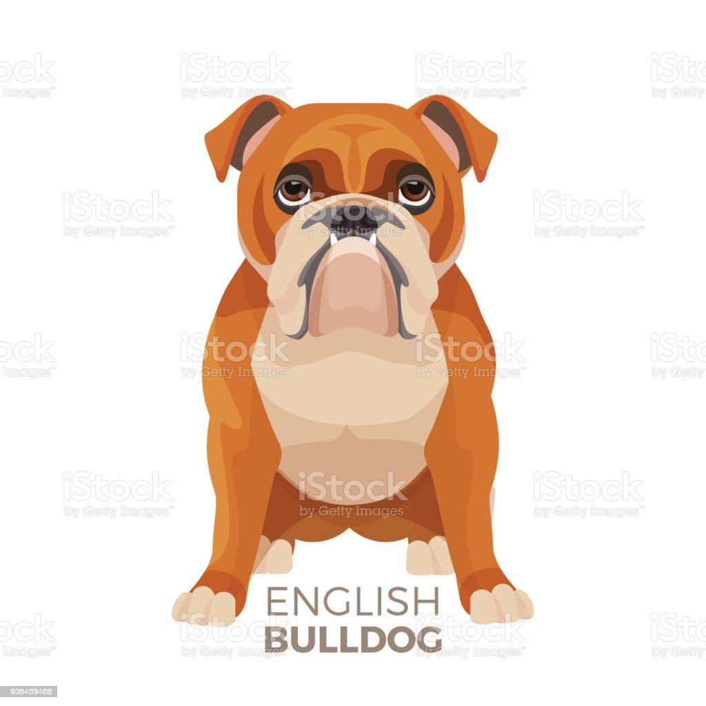 British Bulldog Mediumsized Breed English Bulldog Muscular Hefty ...