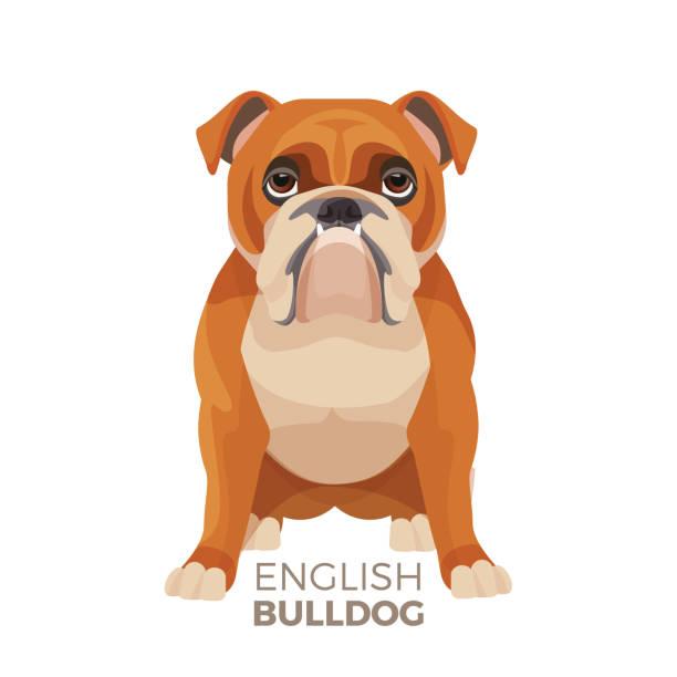 bildbanksillustrationer, clip art samt tecknat material och ikoner med brittiska bulldog medelstor ras, engelska bulldog muskulös, rejäl valp - bulldog