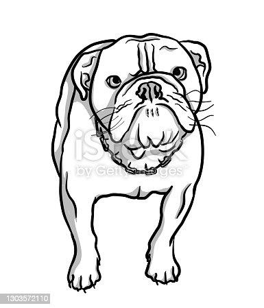 istock British Bulldog Starring 1303572110