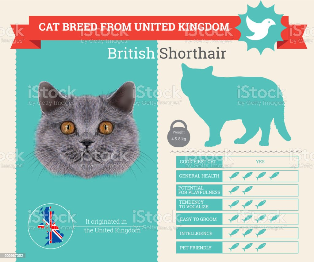 British Shorthair Cat breed vector infographics. This cat breed from...